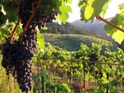 scadere-dramatica-a-absorbtiei-de-fonduri-europene-in-sectrorul-viticol