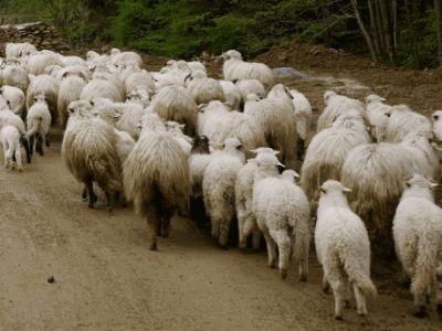 peste-32000-de-fermieri-inscrisi-in-programul-de-sprijin-pentru-oieri
