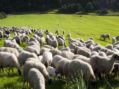 a-inceput-plata-subventiilor-pentru-crescatorii-de-animale