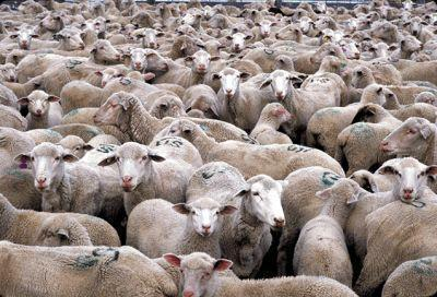 febra-aftoasa-la-ovine-si-bovine-confirmata-la-vecinii-din-bulgaria