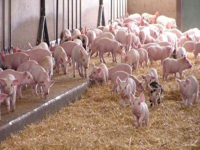 reprezentani-crescatorilor-de-porci-chemati-la-discutii-cu-oficialii-madr