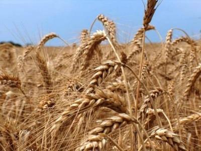 ce-risca-romania-daca-nu-se-va-prelungi-sistemul-taxarii-inverse-la-cereale-si-plante-tehnice