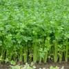 Cultivarea telinei, o alegere potrivita pentru exploatatiile agricole de mici dimensiuni