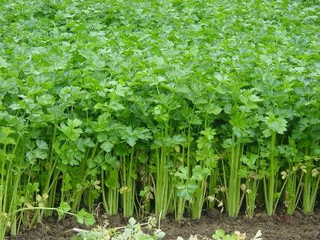 cultivarea-telinei-o-alegere-potrivita-pentru-exploatatiile-agricole-de-mici-dimensiuni