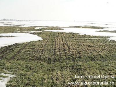 primele-estimari-de-productie-la-grau-2012-iata-cum-au-iesit-culturile-din-iarna-in-ialomita