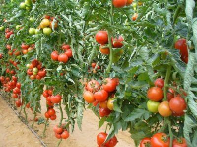 peste-9500-de-fermieri-au-primit-sprijin-in-cadrul-programului-pentru-tomate