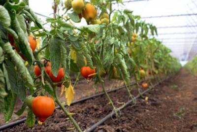 programul-pentru-tomate-a-atras-in-special-tinerii-fermieri