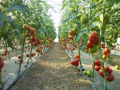 madr-intentioneaza-sa-schimbe-conditiile-acordarii-ajutorului-pentru-tomate