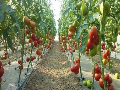 programul-pentru-sustinerea-producatorilor-de-tomate-prelungit-pana-la-jumatatea-lunii-viitoare