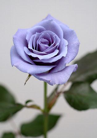 geneticienii-au-obtinut-trandafiri-albastri