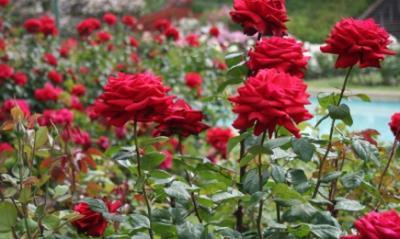 lucrarile-de-taiere-la-trandafiri-se-fac-primavara-si-vara