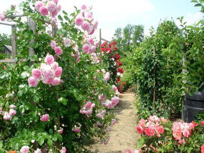 trandafirul-cultivare-origine-varietati