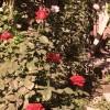 Fertilizarea trandafirilor prin metode ecologice: compost, gunoi de pasari sau de grajd