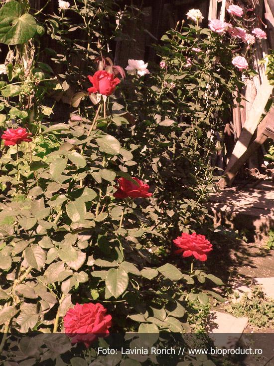 fertilizarea-trandafirilor-prin-metode-ecologice-compost-gunoi-de-pasari-sau-de-grajd