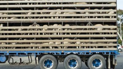 lege-pentru-bunastarea-animalelor-vii-in-timpul-transportului-in-afara-ue