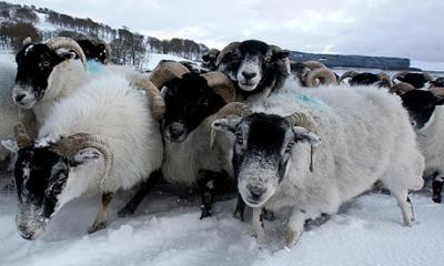 recomandarile-ansvsa-pentru-crescatorii-de-animale