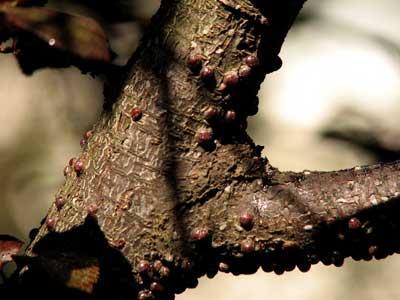 tratamente-la-pomii-fructiferi-din-speciile-samburoase-in-perioada-vara-toamna