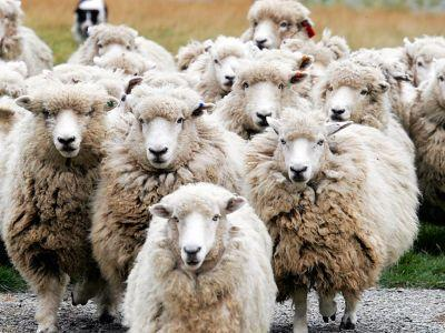 tendinte-si-realizari-in-ameliorarea-productiei-de-carne-la-ovine-in-romania