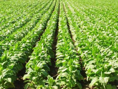exportul-de-tutun-brut-si-prelucrat-a-scazut-in-primul-semestru