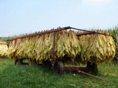 petru-bota-cultivator-de-tutun-semintele-si-tehnologia-de-cultura-sunt-oferite-gratuit-de-minister