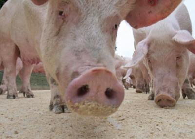 uciderea-porcilor-pe-o-raza-de-10-km-in-jurul-marilor-ferme-ceruta-de-crescatori