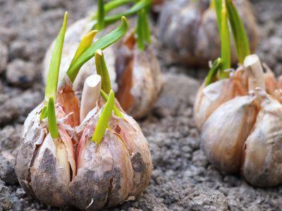 conditii-de-eligibilitate-pentru-ajutorul-de-minimis-acordat-cultivatorilor-de-usturoi