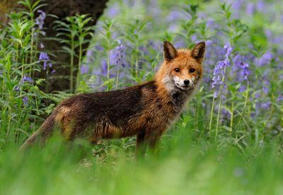 vaccinarea-antirabica-a-vulpilor-sustinuta-cu-bani-europeni