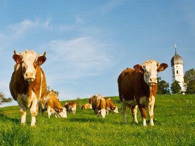 conditii-de-eligibilitate-si-documentele-necesare-obtinerii-de-subventii-pentru-vaci-de-lapte