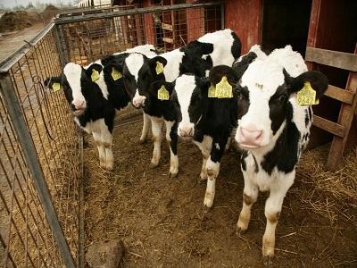 primul-transfer-de-embrioni-la-bovine-realizat-cu-succes-in-romania