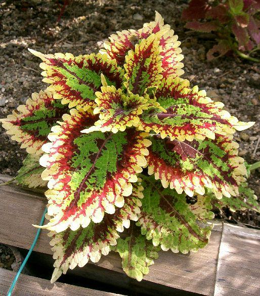urzicile-ornamentale-coleus-blumei