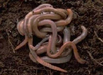 vermicompostul-un-fertilizant-de-inalta-calitate-pentru-cresterea-fertilitatii-solului