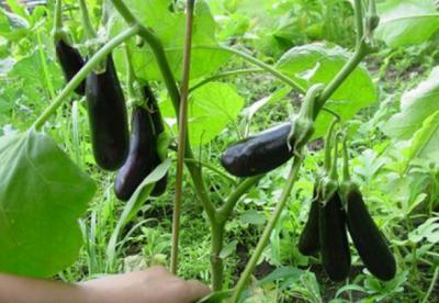 tratamente-fitosanitare-in-culturile-de-vinete-rosii-castraveti-si-fasole