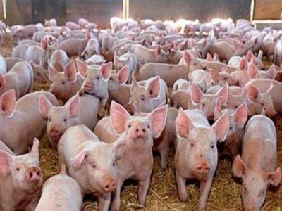 un-virus-care-face-ravagii-in-randul-porcinelor-din-america-de-nord-ameninta-sa-se-extinda-si-in-europa