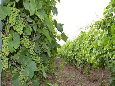conditii-de-eligibilitate-pentru-acordarea-noului-sprijin-in-viticultura